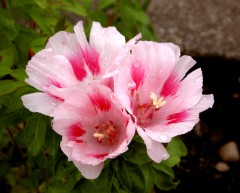 A late flowering Godetia from a random scattering of a packet of seeds