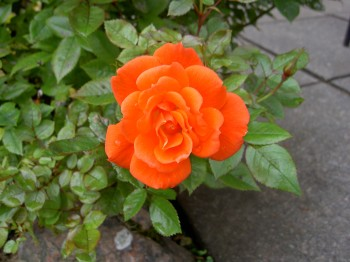 Second flowering of my patio rose