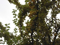 A tree in the neighbourhood laden with fruit